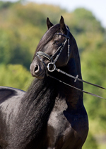 Friesian Photo: Teade 392